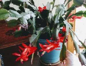 Christmas or Thanksgiving Cactus???